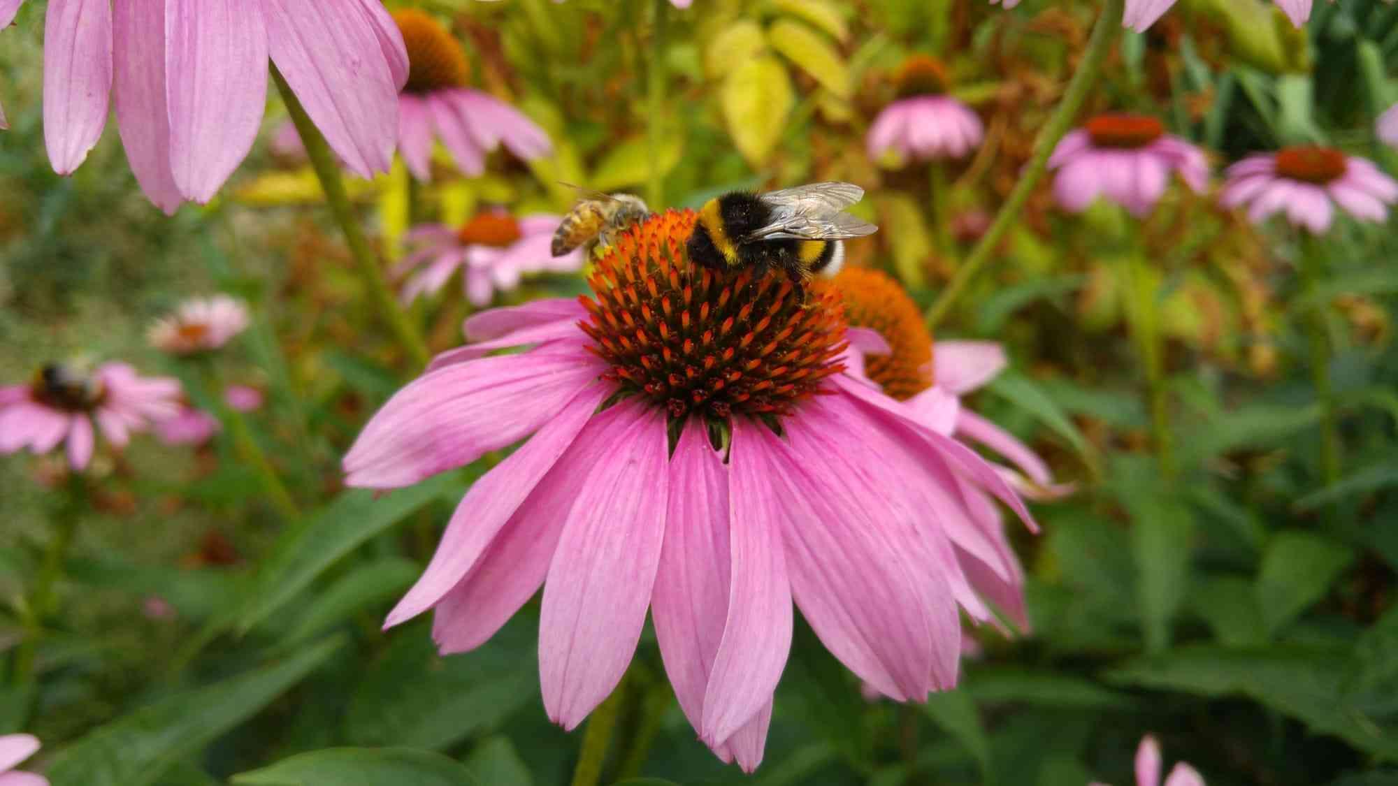 Bumblebee and Honey Bee on Echinacea